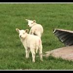 Lambs Framed